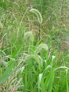 450pxsetaria_viridis_p__beauv__en_2